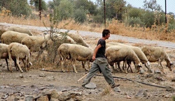 Hirte-Schafe-Bauernhof-Griechenland